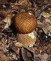 Boletus reticulatus 2009 G2.jpg