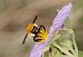 Bombus muscorum purple.jpg