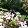 Bombus sp. (probably lucorum) - Flickr - gailhampshire (1).jpg