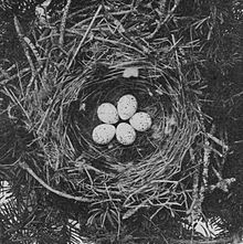 five white eggs in a twig nest