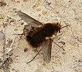 Bombylidae. Beefly (39838928482).jpg