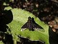 Bombyliidae - Hemipenthes morio (7527070586).jpg
