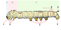 Bombyx mori caterpillar tagged2.png