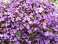 Boraginaceae - Heliotropium arborescens - 3.jpg
