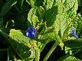 Boraginaceae - Pentaglottis sempervirens - 6.jpg