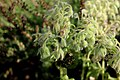 Borago officinalis 02.jpg