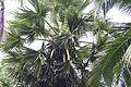 Borassus flabellife 03436.jpg