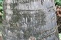 Borassus flabellifer 1zz.jpg