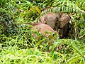 Borneo Elephant (14839808179).jpg
