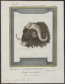 Bos moschatus - kop - 1700-1880 - Print - Iconographia Zoologica - Special Collections University of Amsterdam - UBA01 IZ21200269.tif