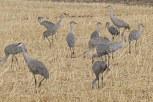 Bosque del Apache National Wildlife Refuge - Sandhill cranes at Bosque del Apache