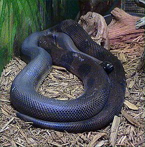 Description de l'image Bothrochilus_boa.jpg.