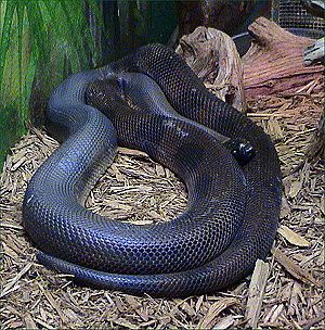 Bothrochilus