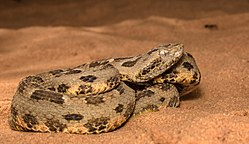 Bothrops pauloensis.jpg