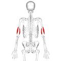 Brachialis muscle10.png