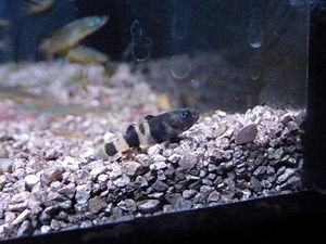 Gobionellinae - Brachygobius xanthozonus