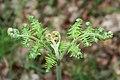 Bracken, Pteridium aquilinum - geograph.org.uk - 1334890.jpg