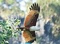 Brahminy Kite (44191704170).jpg