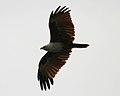 Brahminy Kite (Haliastur indus) W IMG 0453.jpg