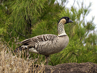 Nene (bird) species of bird