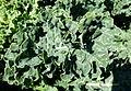 Brassica oleracea - Bergianska trädgården - Stockholm, Sweden - DSC00309.JPG