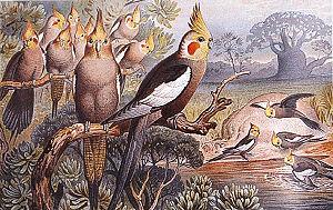 Cockatiel - 1927 Brehms Tierleben painting