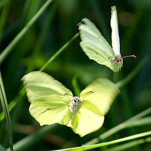 Animal locomotion - A pair of brimstone butterflies in flight. The female, above, is in fast forward flight with a small angle of attack; the male, below, is twisting his wings sharply upward to gain lift and fly up towards the female.