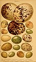 British birds' eggs and nests - popularly described (1870) (14732228406).jpg