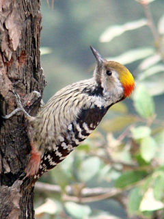 240px brown fronted woodpecker