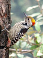 Brown-fronted Woodpecker.jpg