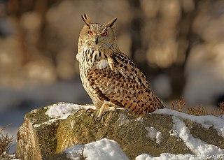 Eurasian eagle-owl Species of owl