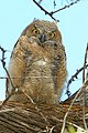 Bubo virginianus -near Tule Lake National Wildlife Refuge, Oregan, USA -juvenile-8 (1).jpg