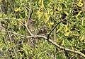 Buchfink-Weibchen in Weide bei Niederbrechen, Landkreis Limburg-Weilburg.jpg