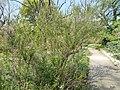 Buda Arboreta. Upper garden. Daisy (Baccharis halimifolia). - Budapest.JPG