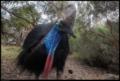 Buiobuione-Cassowary-Casuarius-Casuariidae.tif