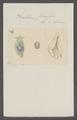 Bullaea ferussaci - - Print - Iconographia Zoologica - Special Collections University of Amsterdam - UBAINV0274 081 05 0007.tif
