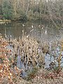 Bullrushes, Upper Pond, Burnham Beeches - geograph.org.uk - 331455.jpg