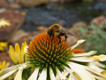 Bumble-bee-yellow-cone-flower - West Virginia - ForestWander.png