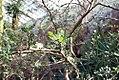 Bursera microphylla 1zz.jpg