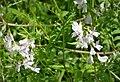 Bush Vetch. Vicia sylvatica (44311472390).jpg