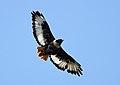 Buteo rufofuscus (Accipitridae) (Jackal Buzzard) - (adult), Lesotho - 2.jpg
