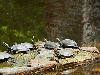 European pond turtle - A group of European pond turtles in the remnants of the Roman baths in Butrint, Albania