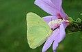 Butterfly & Rose of Sharon.jpg