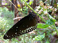 Butterfly Common Crow kerala.jpg