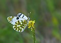 Butterfly Eastern Dappled White - Euchloe ausonia.jpg