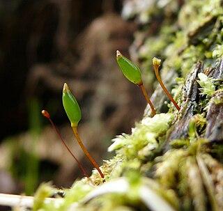 <i>Buxbaumia</i>