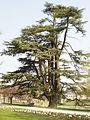 Cèdre du Liban au Jardin du Parc de Vitré.JPG