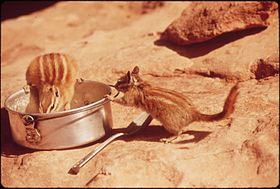 CHIPMUNKS FIND FOOD IN CAMPING AREA OF DEAD HORSE POINT STATE PARK - NARA - 545549.jpg