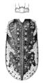 COLE Carabidae Neocicindela spilleri.png
