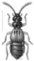 COLE Staphylinidae Sagola laminata.png